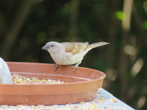 014 Grey-headed sparrow