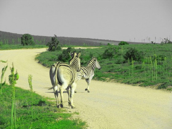 147 Zebra