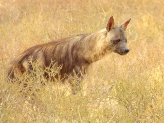 043 Brown Hyena Helen 2015-03-16 08-09-33 AM 2620x1961